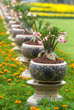 Desert rose or Ping Bignonia Stock Photography