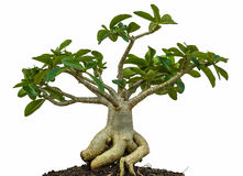 Desert rose or Ping Bignonia tree Stock Photo