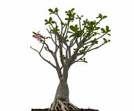 Desert rose or Ping Bignonia tree Stock Image