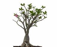 Desert rose or Ping Bignonia tree Stock Image