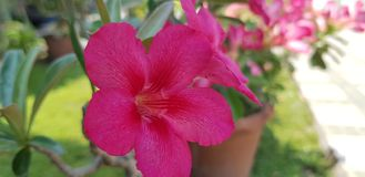 Desert rose pink stock image