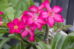 Desert rose. Pink azalea flowers ,Desert Rose, Impala Lily, Mock Azalea in the garden Stock Photos