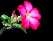Desert rose Royalty Free Stock Images
