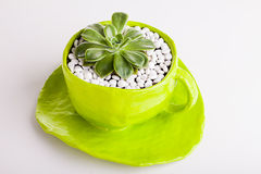Desert Rose Planted In A Green Cup Stock Photos