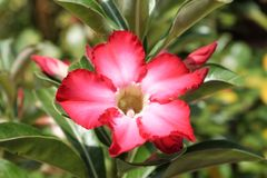 Desert rose. Rainy season flower Royalty Free Stock Photography