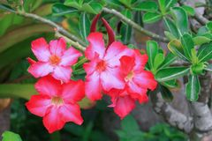 Desert rose red and drip water flower on tree or Impala Lily. Beautiful red adenium in the garden  :Select focus with shallow depth of field Royalty Free Stock Image