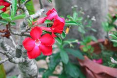 Desert rose red and drip water flower on tree or Impala Lily. Beautiful red adenium in the garden  :Select focus with shallow depth of field Stock Image