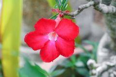 Desert rose red and drip water flower on tree Royalty Free Stock Image