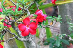 Desert rose red and drip water flower on tree Stock Image