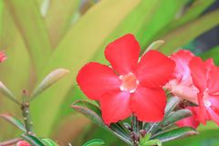 Desert rose red and drip water flower on tree or Impala Lily Royalty Free Stock Image