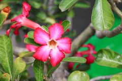Desert rose red and drip water flower on tree or Impala Lily Stock Images