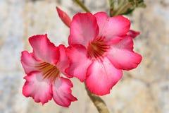 Desert Rose. Red Desert Flower, adenium obesum Stock Photography