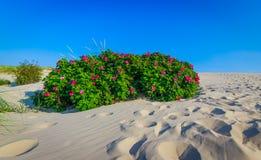 Desert rose. Red roses bush in the desert Royalty Free Stock Image