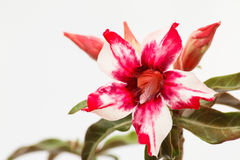 Desert Rose Red and White Stock Photography