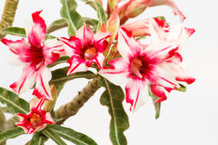 Desert Rose Red and White Royalty Free Stock Photos