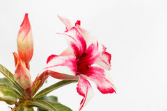 Desert Rose Red and White Royalty Free Stock Image