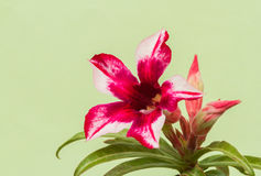 Desert Rose Red and White Royalty Free Stock Images