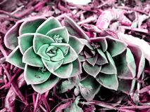 Desert rose succulents, photographed in South Africa