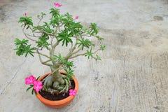Desert rose tree Stock Images