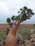Desert Rose tree Royalty Free Stock Images