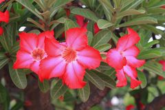 Desert rose Tropical flower on a tree or Impala Lily beautiful Pink adenium Stock Image