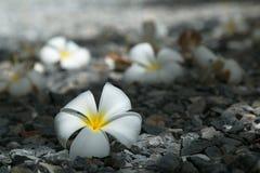 Desert Rose. White Desert Rose Royalty Free Stock Image