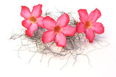 Desert rose. Are on white background Stock Photos