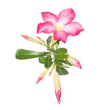 Desert Rose on white background Stock Photo
