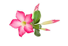 Desert Rose on white background Royalty Free Stock Photos