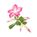 Desert Rose on white background Stock Photography