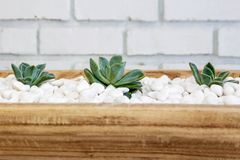Desert rose on white pebbles inside a wooden bowl Royalty Free Stock Photography