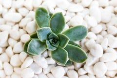 Desert rose on white pebbles Stock Images