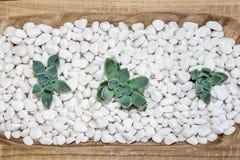 Desert rose on white pebbles Stock Photo