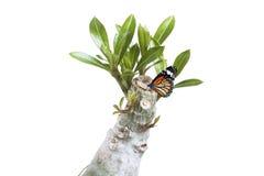 Desert Rosebutterfly and Desert Rose Stock Images