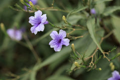 Desert Ruellia Royalty Free Stock Images