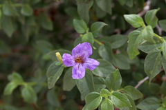 Desert Ruellia Royalty Free Stock Photography