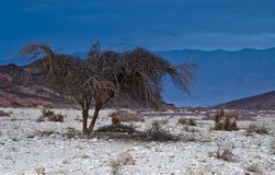 Desert's tree Royalty Free Stock Image
