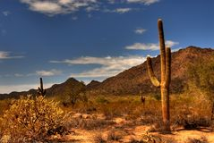 Desert Saguaro 35. Saguaro cactus in the winter Arizona desert Royalty Free Stock Photos