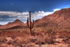 Desert Saguaro. Lone Arizona desert saguaro cactus at sunrise royalty free stock photography