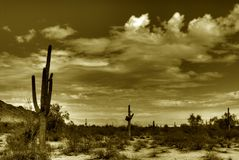 Desert Saguaro in Sepia. Saguaro cactus in the winter Arizona desert sepia toned Stock Images