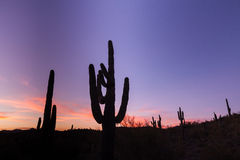 Desert Saguaro Sunset Stock Photos