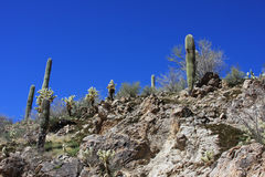 Desert saguaros in Arizona Royalty Free Stock Photo
