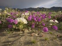 Desert Sand Verbena and Desert Evening Primrose Royalty Free Stock Images