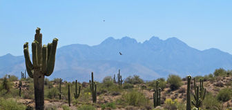 Desert Scene. A hawk soars through the arid Arizona desert, dotted with cactus for miles in every direction Stock Photo