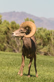 Desert Sheep Ram Stock Photos