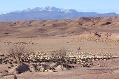 Desert Shepherd with Sheep. Mountain Horizon Royalty Free Stock Photo