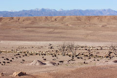 Desert Shepherd with Sheep. Mountain Horizon Royalty Free Stock Photography