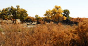 Desert shrub. Inner Mongolia desert shrub peculiar - tamarisk Stock Photo