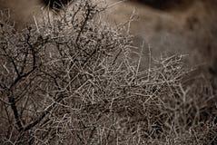 Desert Shrub. A leafless, twiggy shrub in the Mojave Desert Royalty Free Stock Image