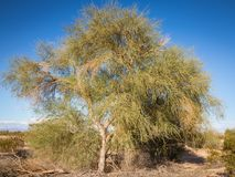Desert shrub tree in Southwest USA. Large tree makes a grand showing in the dry Arizona desert Royalty Free Stock Photo